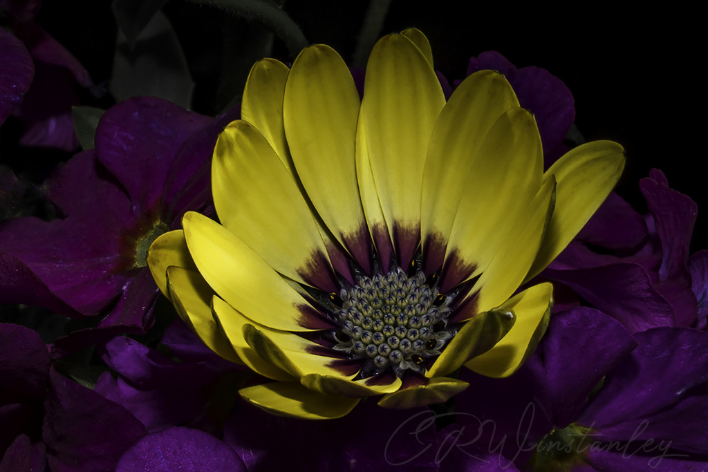 Yellow and Purple by kipper1951