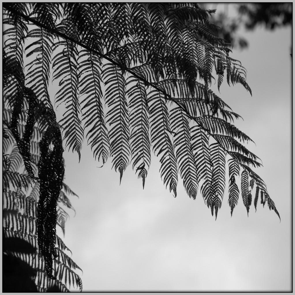 NZ silver fern by dide