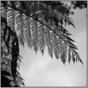 13th Oct 2020 - NZ silver fern