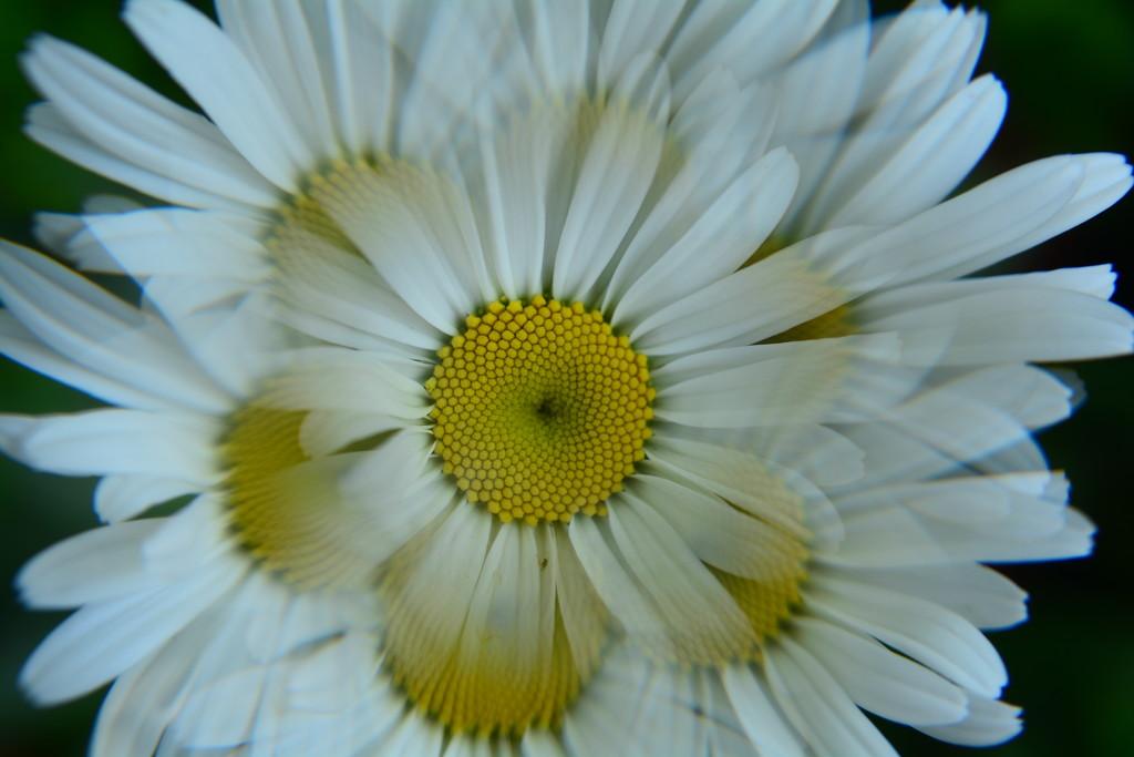 Daisy...... by ziggy77