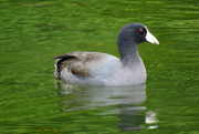 14th Oct 2020 - American Coot