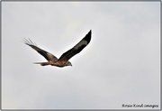 14th Oct 2020 - Red Kite