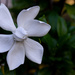 Gardenia bloom...