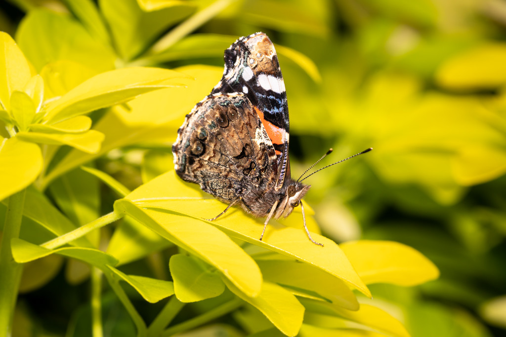 Red Admiral by humphreyhippo
