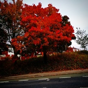 14th Oct 2020 - Red Leaves of Autumn