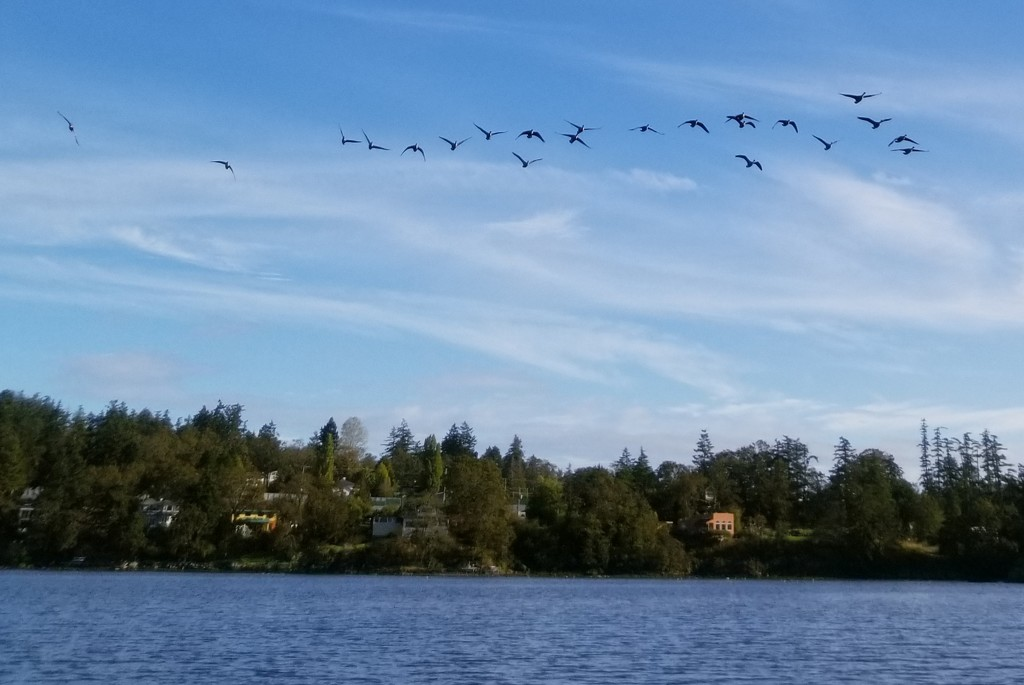 Incoming Geese by kimmer50