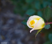 14th Oct 2020 - Fall rose