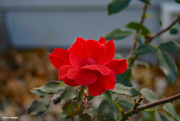 14th Oct 2020 - Fall rose 1