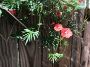 15th Oct 2020 - A Small Section of a Cardinal Vine