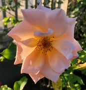 14th Oct 2020 - Illuminated rose