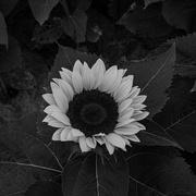 13th Oct 2020 - Sunflower