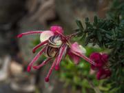 13th Oct 2020 - Grevillea flower
