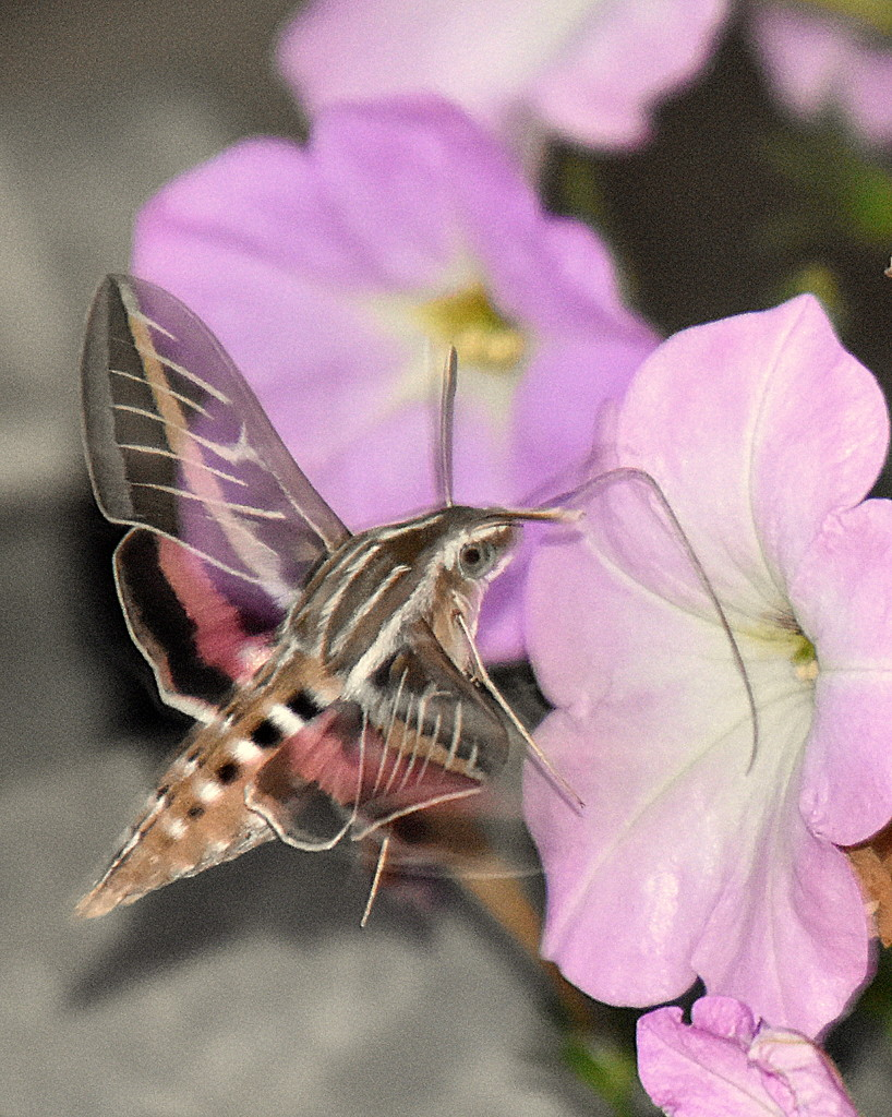 White-lined Sphinx on the Move by genealogygenie