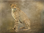 15th Oct 2020 - This Cheetah was posing nicely
