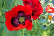 15th Oct 2020 - Thriving Poppies