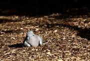 15th Oct 2020 - Reposing Pigeon