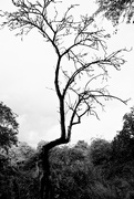 15th Oct 2020 - Apple Tree Skeleton