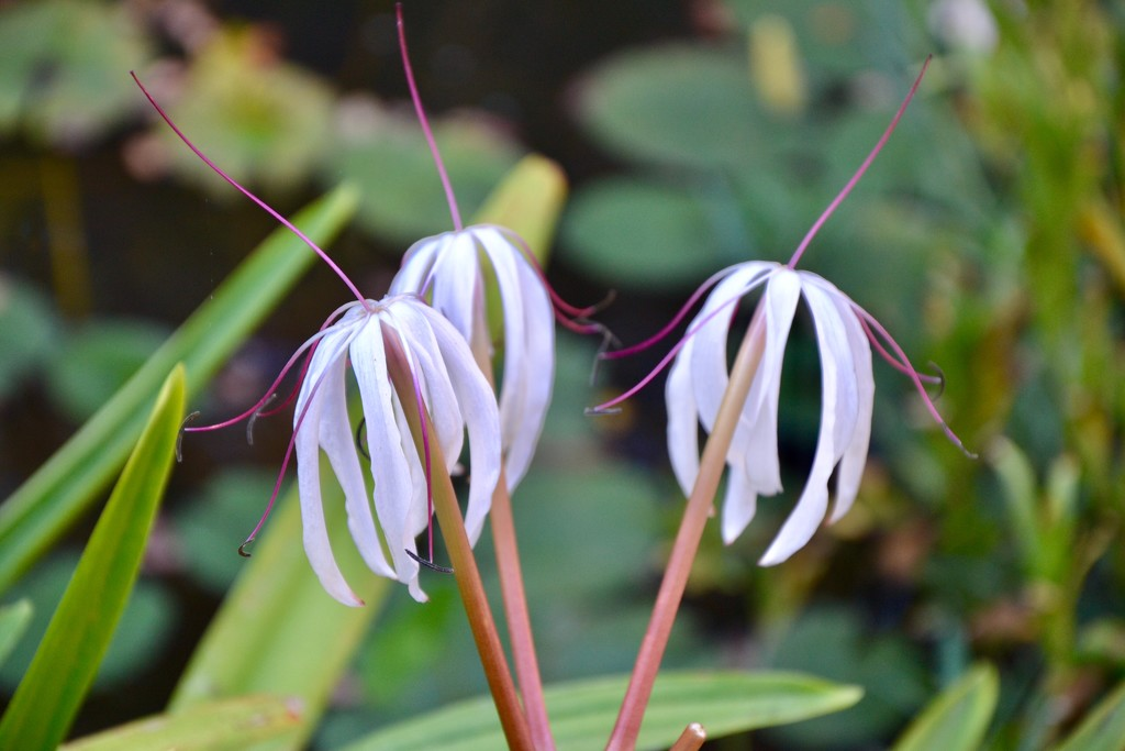 Swamp (Crinum) Lilies by louannwarren