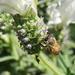 White lavender bee