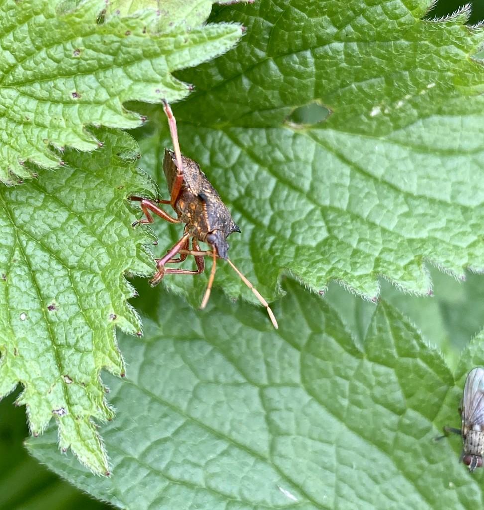 Shield bug by tinley23
