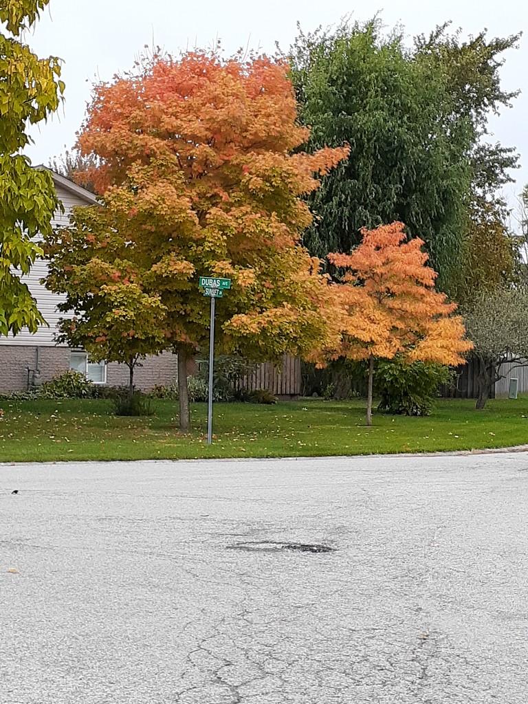 Orange tree, next subdivision by harrowjet