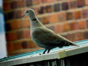 15th Oct 2020 - Collared Dove
