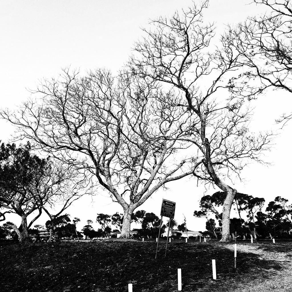 Trees of Keurboom #5 by eleanor