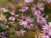 15th Oct 2020 - Drummond's asters