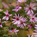 Drummond's asters