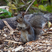 15th Oct 2020 - Eastern gray squirrel