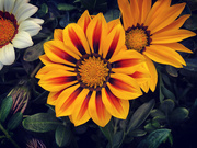 15th Oct 2020 - Gazania 2
