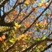 Looking Up at Blackgum Tree