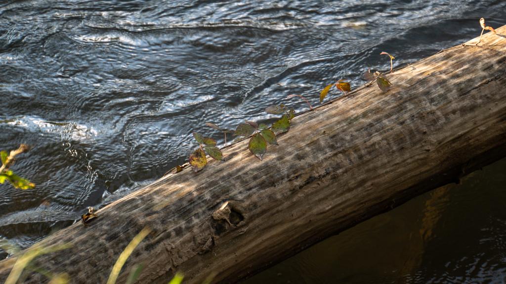Virginia's creeping across the log by randystreat