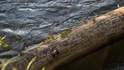 15th Oct 2020 - Virginia's creeping across the log
