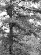 16th Oct 2020 - Carolina long needle pines...