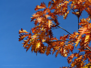 15th Oct 2020 - autumn gold