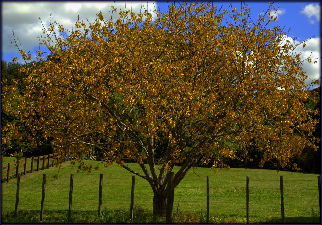 Kowhai by dide