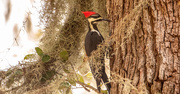 15th Oct 2020 - Pileated Woodpecker in the Moss!