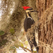 Pileated Woodpecker in the Moss!