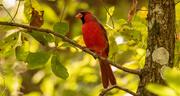 15th Oct 2020 - Mr Cardinal!