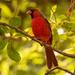 Mr Cardinal!
