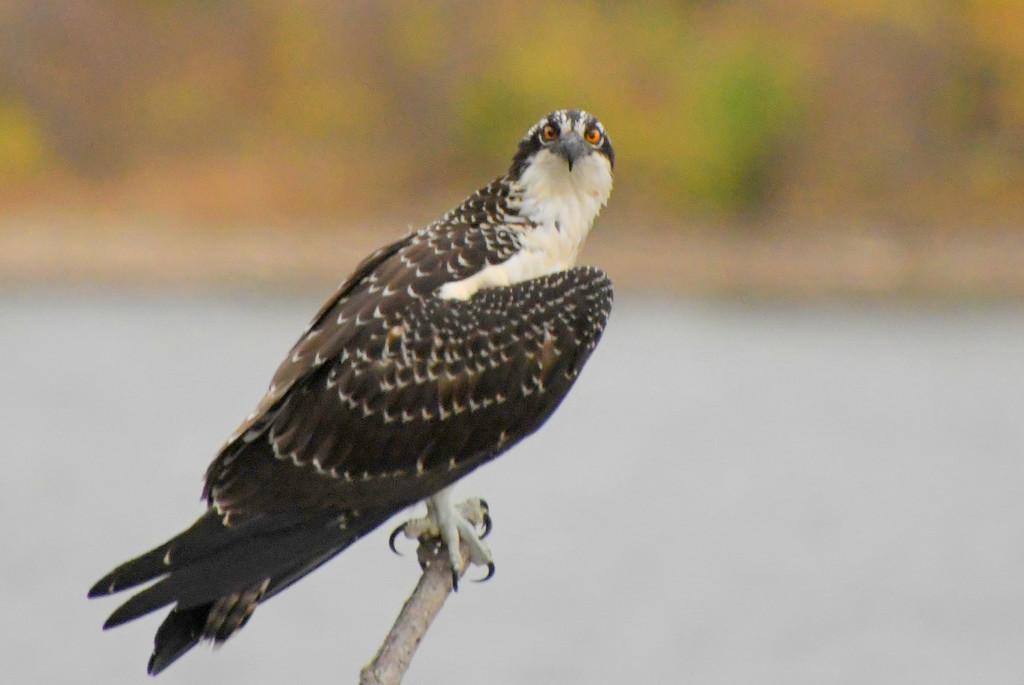 Osprey by kareenking