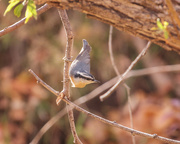 13th Oct 2020 - red breasted nuthatch