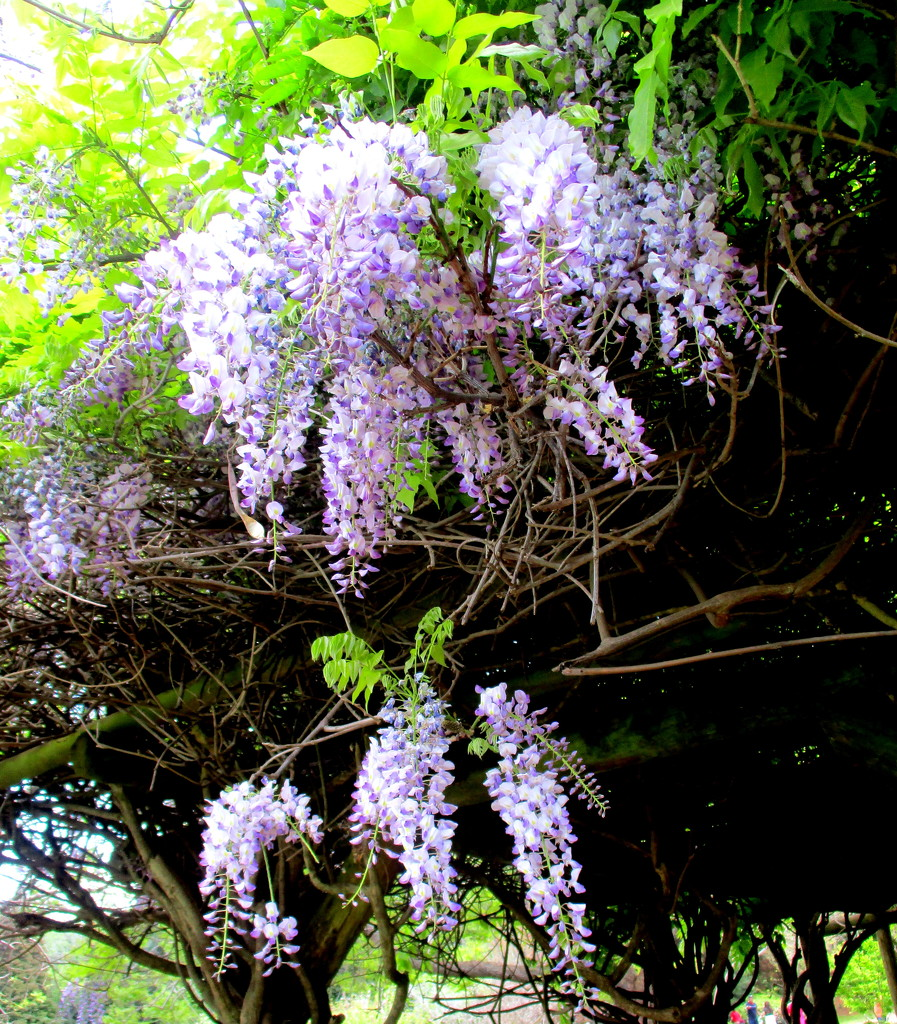Wisteria in the Japanese Gardens by 777margo