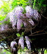16th Oct 2020 - Wisteria in the Japanese Gardens