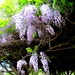 Wisteria in the Japanese Gardens