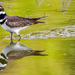 Mr Killdeer strolling thru a near by pond