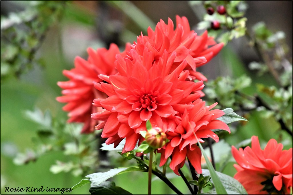 The dahlias are still flowering by rosiekind