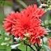 The dahlias are still flowering