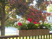 16th Oct 2020 - Crimson maple and geraniums